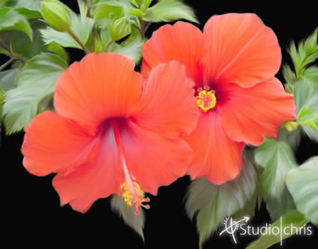 red-hibiscus-1114
