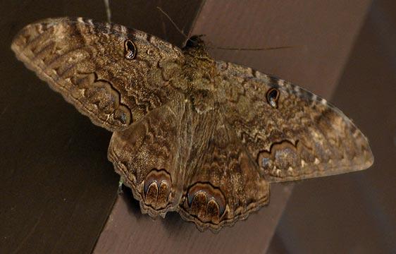 _JR28672-big-brown-moth
